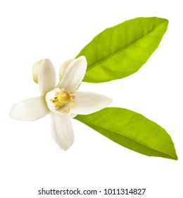 Spring. the time of flowering citrus. white fresh orange tree flowers and green leaves. Isolated on white background.