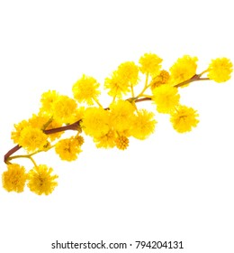 spring, the time of flowering mimosa. a branch of a blossoming mimosa. yellow flowers and green leaves isolated on white background