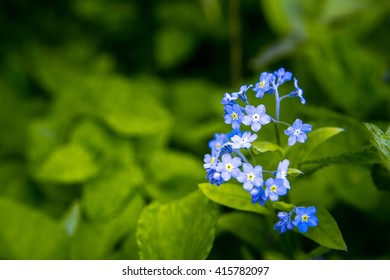 Spring time Forget-me-nots in the garden