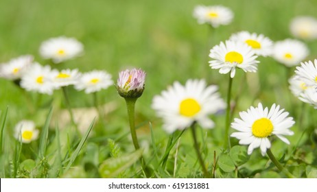 spring time in nature Bellis perennis