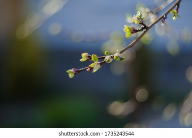 Spring time, nature wallpaper. Young tree leaves and bud close-up. New spring foliage appears on the branches. A tree or bush that releases buds. Seasonal forest, blurred background.