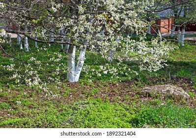 Spring time in a park. Blooming cherry tree and bright green grass