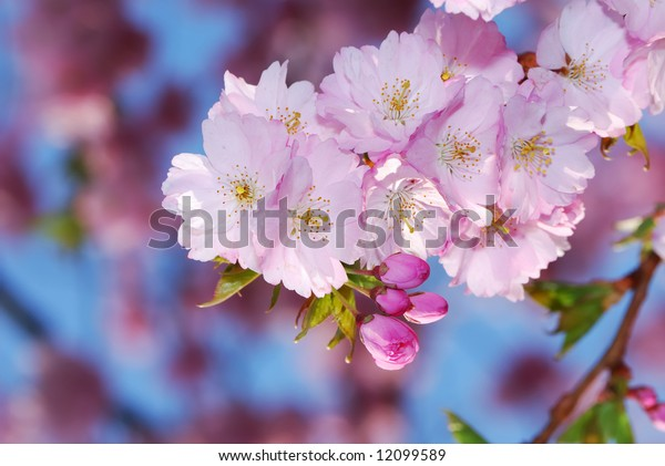 Spring time: pink cherry blossoms.