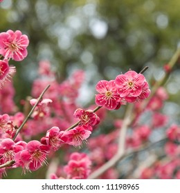 Spring time plum blossoms (ume no hana) at a temple in Kyoto, Japan