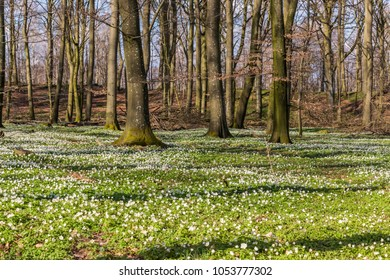 Spring time in South Sweden, Skane and there is blooming wood anemones in the beech forest
