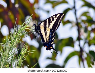 In spring time, in the Topanga Canyon, you can meet Swallowtail butterfly. LA, CA.