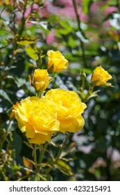 Spring Time Yellow Roses