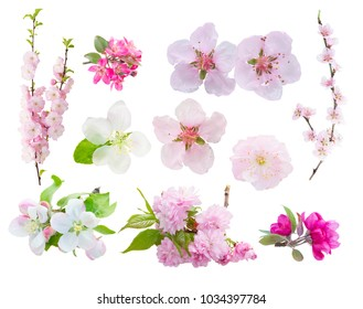 Spring tree blooming flowers and leaves twigs isolated on white background