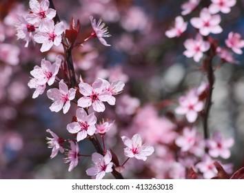 Spring tree blossom, close up