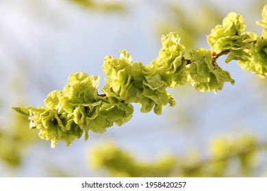 Spring tree, blossom of Elms,  Ulmus minor, the field elm,- flowering plant genus Ulmus in the plant family Ulmaceae