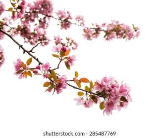 Spring Tree Blossom on white background