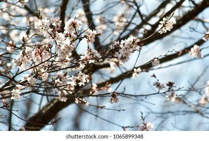Spring Tree Blossoms