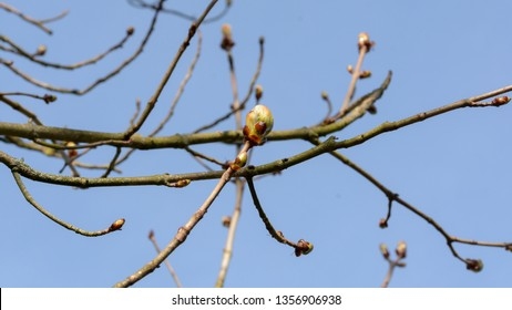 Spring Tree Buds Opening A, Shallow Depth of Field Macro Photography, Spring 2019