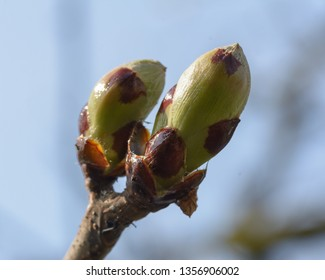 Spring Tree Buds Opening C, Shallow Depth of Field Macro Photography, Spring 2019