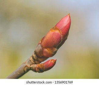 Spring Tree Buds Opening J, Shallow Depth of Field Macro Photography, Spring 2019