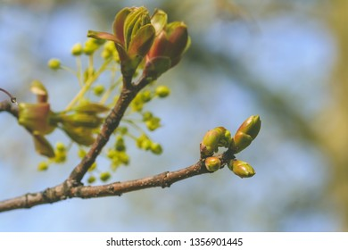 Spring Tree Buds Opening K, Shallow Depth of Field Macro Photography, Spring 2019