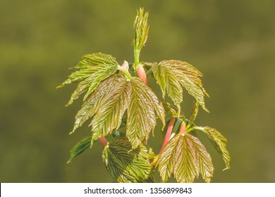 Spring Tree Buds Opening P, Shallow Depth of Field Macro Photography, Spring 2019