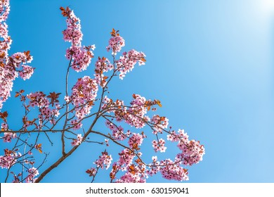 spring tree with pink flowers almond blossom on a branch on green background, on blue sky with daily light with clouds