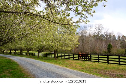 Spring Trees Blooming Beside Driveway and Horses