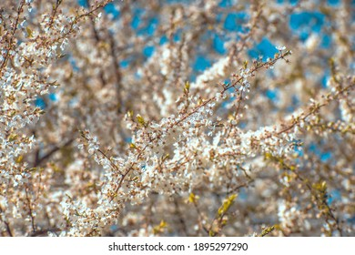 spring trees blooming with white flowers on a sunny day
