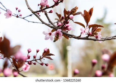 Spring trees: pink apple blossom branches with a bee on a flower
