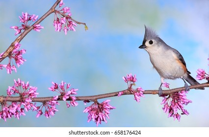 A spring Tufted Titmouse (Baeolophus bicolor) at flowering redbud.
