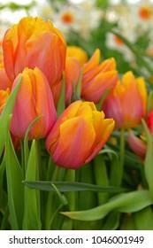 Spring. Tulip Darwin Hybrid Mystic Van Eijk