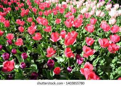 Spring Tulip Festival in the city of St. Petersburg.