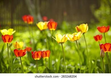 spring tulip field
