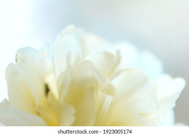 spring tulip meadow. close up of white tulip petals. blurry abstract spring floral background