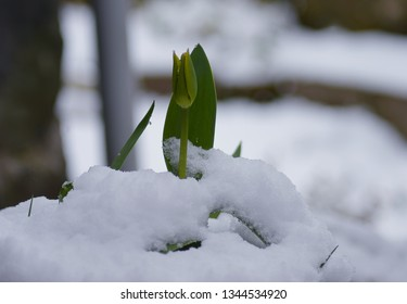 A spring tulip pushes its way up through the snow in March in Perthshire, Scotland