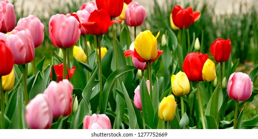 Spring tulips blooming in Pittsburgh, Pennsylvania, USA