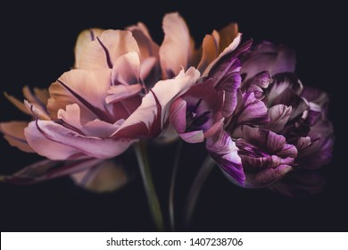 spring tulips, a bouquet on a dark background, striped petals