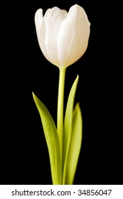 spring tulips flower isolated on black background