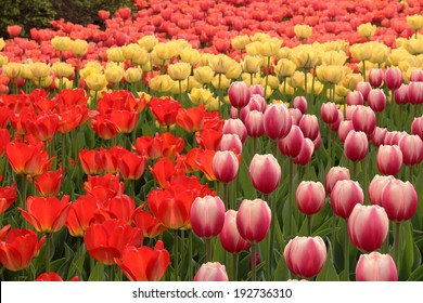 Spring tulips in full bloom at the Tulip Festival in Ottawa, Canada