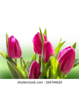 spring tulips on white background
