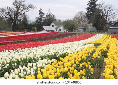 Spring Tulips in the  Willamette Valley ,Oregon .