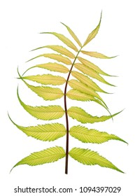 Spring twig of exotic ornamental bush with dancing yellow leaves. Isolated on white studio macro shot