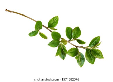 Spring twig with green leaves isolated on white