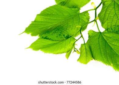 spring twig linden with green leaves on a white background