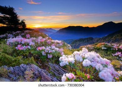 Spring twilight scenery of Hehuan Mountain North Peak,Red Azalea flowers blossoms(Yushan Rhododendron)by the Trails of Taroko National Park in the gale morning. Hualien,Taiwan,Asia.