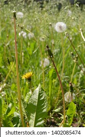 The spring view with blowballs (Taraxacum),Blowballs are very popular in folk cosmetics.The face mask from its fresh leaves moisturizes skin,