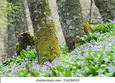 Spring view of two beech trunks rising above the flowery ground