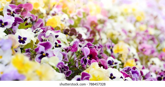 Spring viola flowers field natural sunny background with shallow dof . Colorful background from pansy flowers