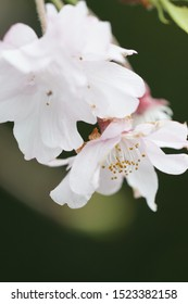 Spring weeping cherry blossom close-up