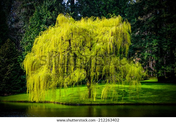 Spring Weeping Willow Tree