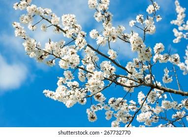 Spring white blossoms against blue sky