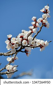 spring white cherry blossoms