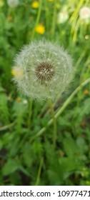spring white dandelion