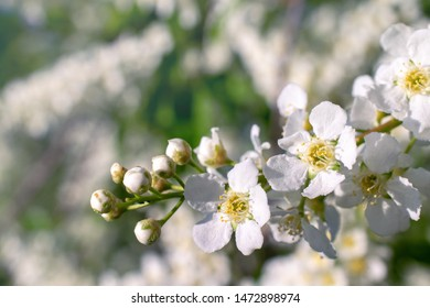 spring white flowers on Apple tree on blurred smoky background